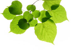 Free Linden &x28;lime&x29; Leaves Royalty Free Stock Photo - 13791175