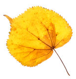 Linden yellow leaf isolated Royalty Free Stock Photography