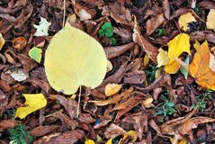 Linden yellow leaf on rotten leaves background stock photography