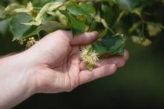 Lindenbaum in der Blüte stockfotografie