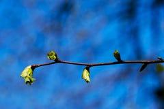 Lindenbaum im Frühjahr Stockfotos