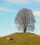 Lindenbaum im Winter mit Kuh Lizenzfreies Stockfoto