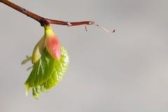 Lindenbaumknospe, embryonales Trieb mit frischem grünem Blatt Makroansichtniederlassung, grauer Hintergrund Frühlingszeitkonzept, Lizenzfreies Stockfoto
