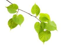 Lindeniederlassung lokalisiert auf weißem Hintergrund Stockfotos