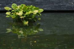 Lindenii ed acqua di Alocasia Fotografia Stock