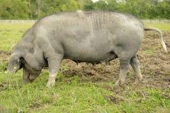 Linderöd pig. S from Skåne in Sweden Stock Photo