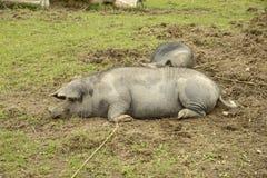 Linderöd pig Stock Photography