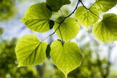 Lindetakje met jonge bladeren bij dichte waaier royalty-vrije stock afbeelding