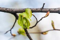 Lindezweig, Niederlassung mit frischem grünem Blatt Knospung, embryonale Triebmakroansicht Weicher Hintergrund Frühlings-Zeit im  Stockbild