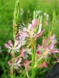 Lindheimeri энотеры Wildflower Gaura бабочки стоковые изображения rf