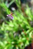 lindheimeri gaura Стоковое Изображение RF