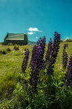 Lindis Lupins Royalty Free Stock Images