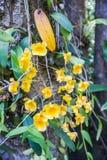 Lindleyi de Dendrobium Photo stock