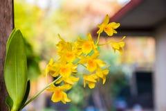 Lindleyi de Dendrobium Image libre de droits