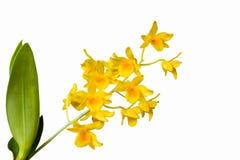 Lindleyi de Dendrobium sur le fond d'isolement Photo stock