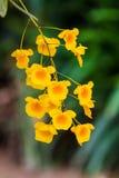 Lindleyi jaune-orange de Dendrobium d'espèces d'orchidée Photographie stock libre de droits