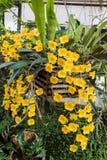 Lindleyi jaune-orange de Dendrobium d'espèces d'orchidée. Photo libre de droits