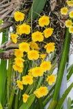 Lindleyi jaune-orange de Dendrobium d'espèces d'orchidée. Photographie stock libre de droits
