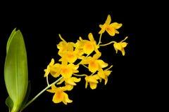 Lindleyi Steud de Dendrobium sur le fond noir d'isolement Photos stock