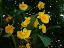 lindleyi van orchideedendrobium Stock Fotografie