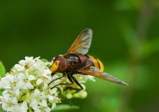 Lindo de hojalata abeja-como la mosca que se sienta en una flor blanca Fotografía de archivo