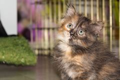Lindo mullido poco gatito mira para arriba foto de archivo