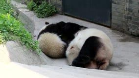 Lindo poco Panda Cub está jugando con su mamá, China almacen de metraje de vídeo