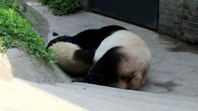 Lindo poco Panda Cub está jugando con su mamá, China almacen de video