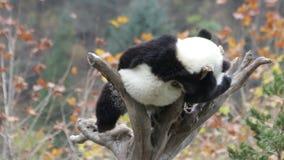 Lindo poco Panda Cub se está enfriando hacia fuera en el árbol, China almacen de video