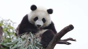 Lindo poco Panda Cub se está enfriando hacia fuera en el árbol, China metrajes