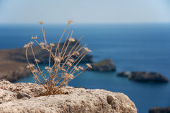 Lindos rhodes. Dry plant/seashore lindos/rhodes/greece royalty free stock images