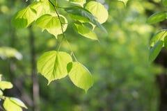 Lindsidor i solen på en bakgrund av grön lövverk i skogen Fotografering för Bildbyråer