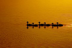 Line. A line of wild ducks stock photography