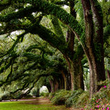 Line of ancient oak trees Royalty Free Stock Photography