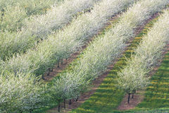 Line apple orchard Stock Image