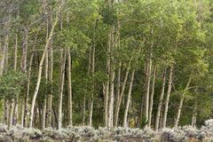 Line of aspen trees on edge of forest stock image