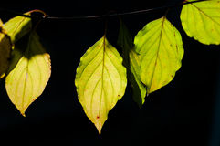 Line of backlit dogwood leaves Royalty Free Stock Photos