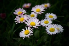 Line of Bellis perennis Royalty Free Stock Images