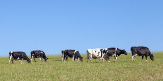 Line of black and white  Holstein  dairy cows walking on the sky Stock Photos