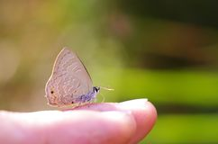 Line-blue Butterfly on the finger. Line-blue Butterfly is drinking sweat from human finger Royalty Free Stock Photos