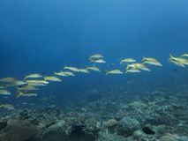 Line of bright yellowfin goatfish over reef in blue ocean stock photography