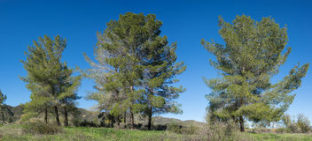 Line of California Pine Trees Royalty Free Stock Image