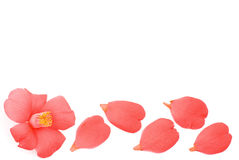 Line of camellia flower Royalty Free Stock Photography