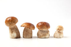 Line of cep mushrooms. Line of four cep mushrooms over white Royalty Free Stock Photo