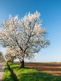 Line of cherry trees Royalty Free Stock Photo