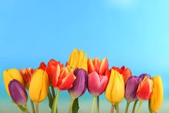 Line of colourful tulips Royalty Free Stock Photography