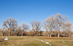 Line of Cottonwoods and Melting Snow Stock Photos