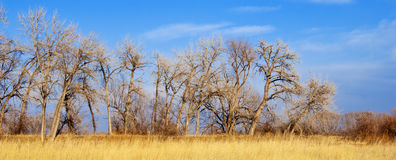 Line Of Cottonwoods Over a Golden Field Royalty Free Stock Photo