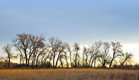 Line of Cottonwoods in Winter Stock Image