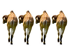 Line of Cow Royalty Free Stock Image